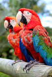 Caribbean parrots Stock Photos