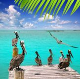 Caribbean pelican turquoise beach tropical sea. View Mexico Stock Photos