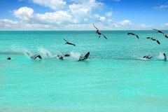 Caribbean pelican turquoise beach tropical sea Stock Photography