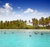 Caribbean pelican turquoise beach tropical sea Stock Photo