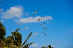 Caribbean pelicans flying in a row. At Mexico Stock Image