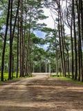Caribbean Pine In Tonson Breeding Area, Chiang Mai royalty free stock photo