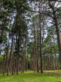 Caribbean Pine In Tonson Breeding Area, Chiang Mai stock photography