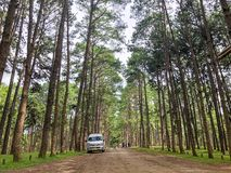 Caribbean Pine In Tonson Breeding Area, Chiang Mai stock images