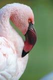 Caribbean pink flamingo close up Stock Image
