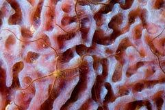 Caribbean pink sponge. With seastar. Bonaire Royalty Free Stock Photos