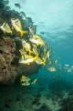 Caribbean Porkfish Stock Photography