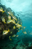 Caribbean Porkfish Stock Image