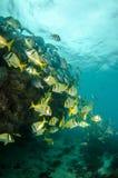 Caribbean Porkfish Royalty Free Stock Image