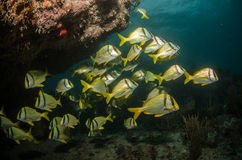 Caribbean Porkfish Stock Photo