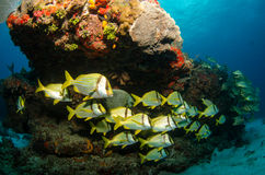 Caribbean Porkfish. School of Porkfish from the caribbean sea stock photo