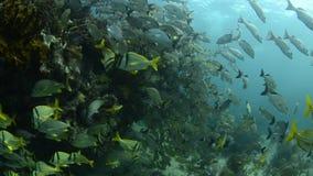 Caribbean Porkfish stock footage