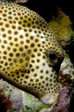 Caribbean pufferfish. In front of reef in Bonaire Stock Photo