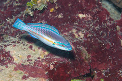 Caribbean rainbow wrasse. Picture of a wrasse fish took in roatan, honduras in the caribbean Royalty Free Stock Images