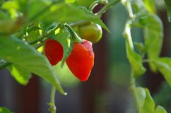 Caribbean Red Habanero peppers. Green and ripe Caribbean Red Habanero peppers growing on the plant royalty free stock photography