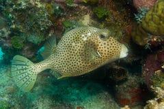 Caribbean reef fish Stock Photo