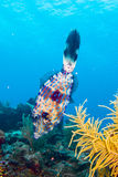 Caribbean reef fish Stock Images