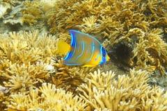 Caribbean reef fish juvenile Queen angelfish Stock Photography