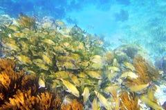 Caribbean reef Grunt fish school Mayan Riviera Royalty Free Stock Images