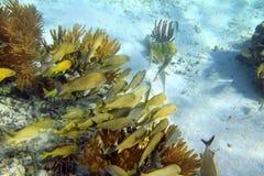 Caribbean reef Grunt fish school Mayan Riviera Royalty Free Stock Photos