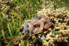 Caribbean reef octopus mating Stock Photography