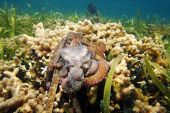 Caribbean reef octopus mating over coral Stock Photos