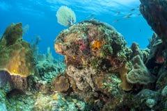 Caribbean Reef Octopus (Octopus briareus) Stock Images