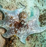 Caribbean reef octopus,Octopus briareus royalty free stock images