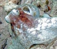 Caribbean reef octopus,Octopus briareus,octopus Stock Images