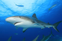 Caribbean Reef Shark. (Carcharhinus perezii) in the Bahamas stock photo