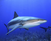 Caribbean Reef Shark Stock Photo