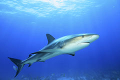 Caribbean Reef Shark. (Carcharhinus perezii) in the Bahamas royalty free stock photo