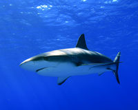 Caribbean Reef Shark. (Carcharhinus perezii) in the Bahamas stock image