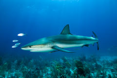 Caribbean Reef Shark. S (Carcharhinus perezii royalty free stock photos