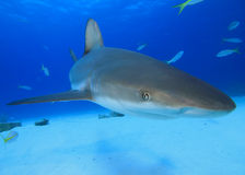 Caribbean Reef Shark Royalty Free Stock Images