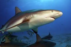 Caribbean Reef Shark Stock Photography