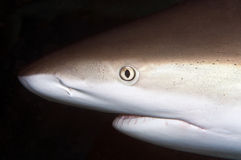 Caribbean Reef Shark Royalty Free Stock Photos
