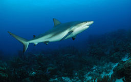 Caribbean reef shark. Side view of Caribbean reef shark swimming in blue sea royalty free stock photo