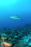 Caribbean reef shark. In blue ocean stock photos