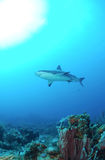 Caribbean reef shark. Underwater view of Caribbean reef shark swimming in blue sea over coral reef stock images