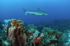 Caribbean reef shark royalty free stock photography