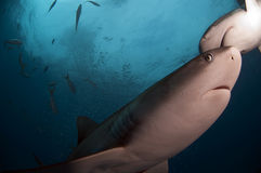 Caribbean Reef Shark. Growing no more than ten feet in length Caribbean reef sharks are a lot of fun to dive Royalty Free Stock Photo