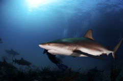 Caribbean Reef Shark. Growing no more than ten feet in length Caribbean reef sharks are a lot of fun to dive Stock Image