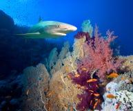 Caribbean reef shark stock images