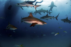 Caribbean Reef Shark. A pack of Caribbean reef sharks Royalty Free Stock Photo