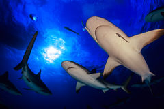 Caribbean reef shark all around bottom up view with clear blue w Stock Photo