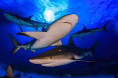 Caribbean reef shark all around bottom up view with clear blue w Royalty Free Stock Photo