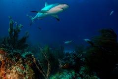 Caribbean reef shark over reef. Caribbean Reef Shark around the Bahamas Tiger Beach Stock Photography