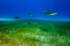 Caribbean reef sharks Bahamas. Caribbean Reef Shark around the Bahamas Tiger Beach Royalty Free Stock Images