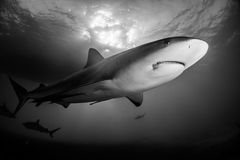 Reef Shark Bahamas. Caribbean Reef Shark around the Bahamas Tiger Beach royalty free stock photography